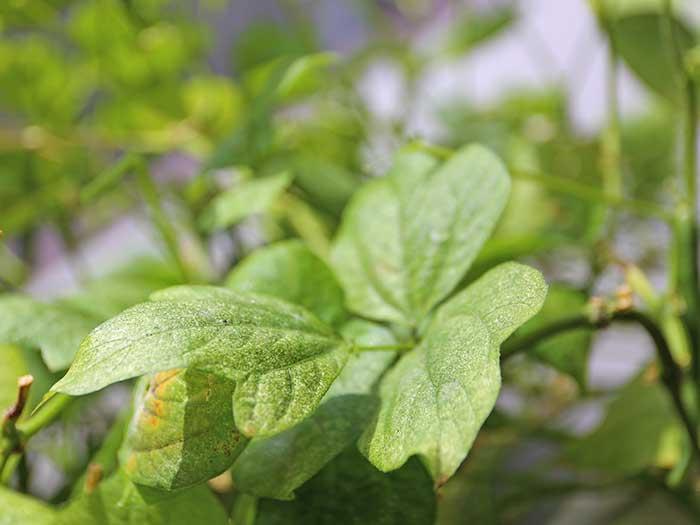元気に回復した小豆の葉