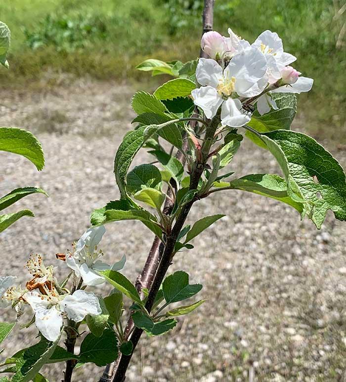 リンゴの苗木が開花