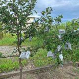 順調に実がなるリンゴの木