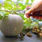 水耕栽培キットVS自作のほぼ水耕栽培!おいしいメロンが収穫できたのはどっち??
