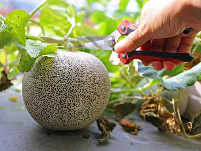 メロンの収穫