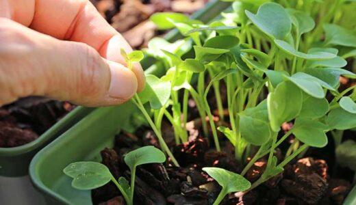 ラディッシュをベランダ菜園でほぼ水耕栽培!種まきと間引き代わりの収穫!