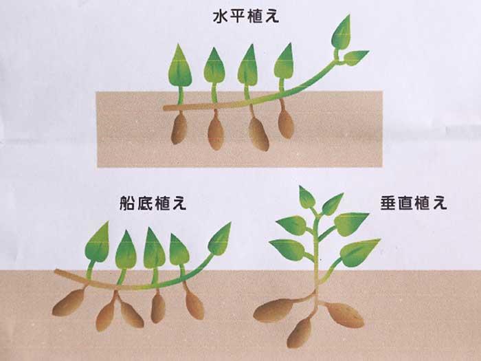 サツマイモの芋づるの植え付け方