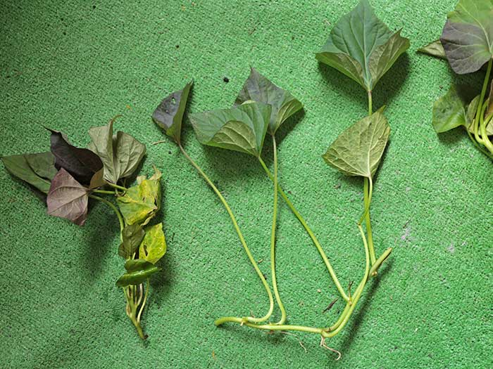 サツマイモの苗の形は2種類