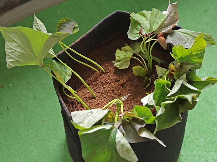 植え終わったサツマイモの芋ずる