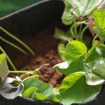 ベランダ家庭菜園でサツマイモ栽培!不織布の袋をプランターにする栽培法!