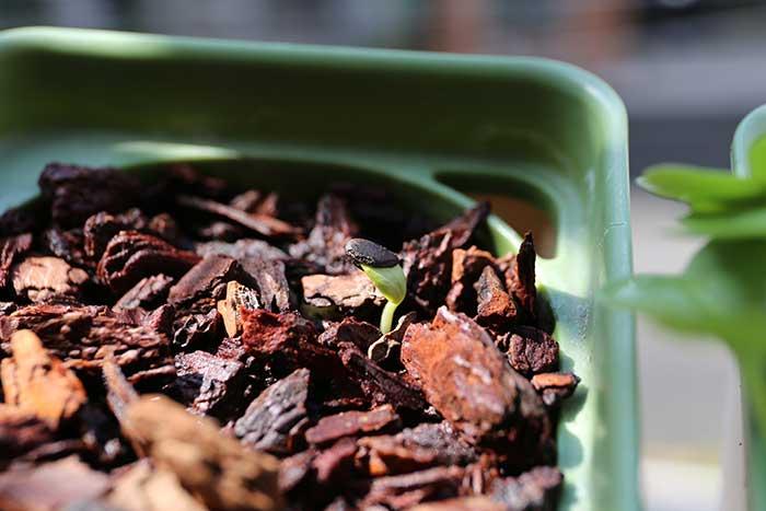 種の皮をかぶったスイカの芽