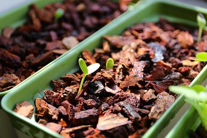 双葉を広げたスイカの芽