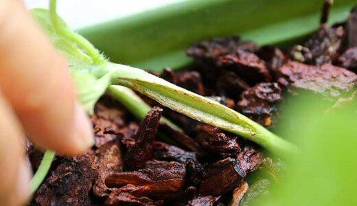 ベランダ菜園のスイカが「つる割れ病」に!枯れていく新芽や葉の治療法や対策は?