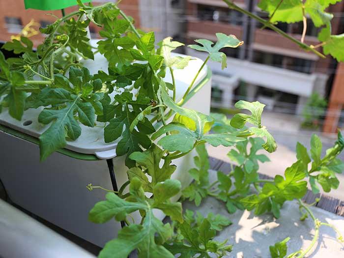 水耕栽培キットで育ててるスイカ苗