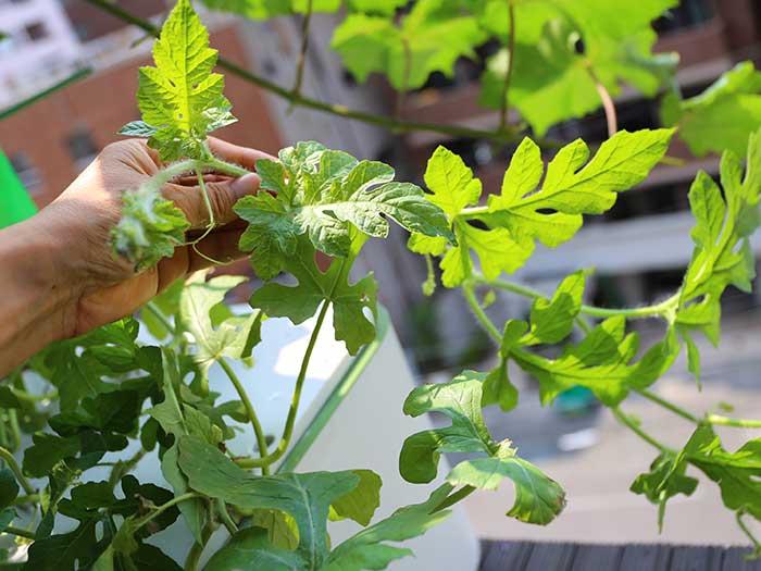 折れやすいスイカの茎