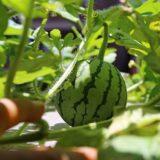 ベランダの水耕栽培でスイカの実が結実!縞々が入り始めた実がかわいすぎる♪