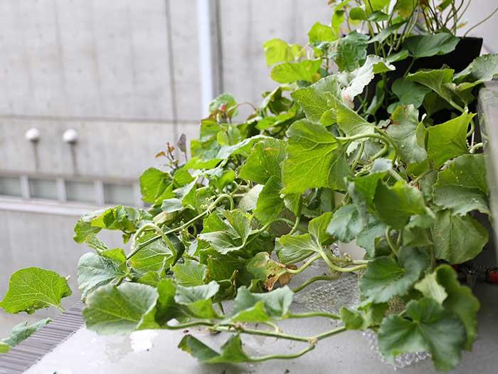 茂りまくった家庭菜園のメロンの株