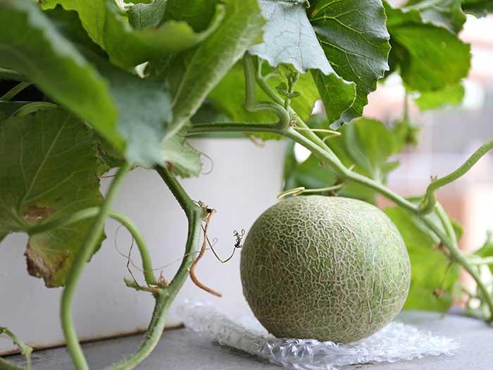 家庭菜園で実ったメロンの実