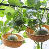 超かわいい吊りカゴの中で育つメロン