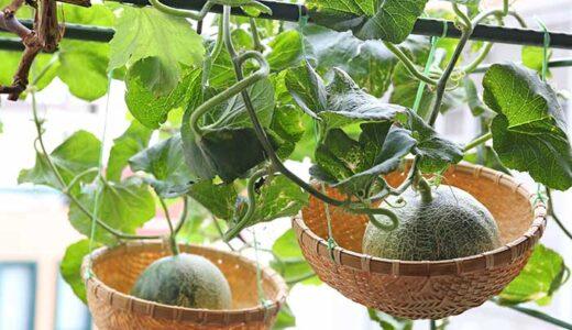 メロンの吊りカゴ空中栽培!ベランダ菜園で超おしゃれに育てる方法!