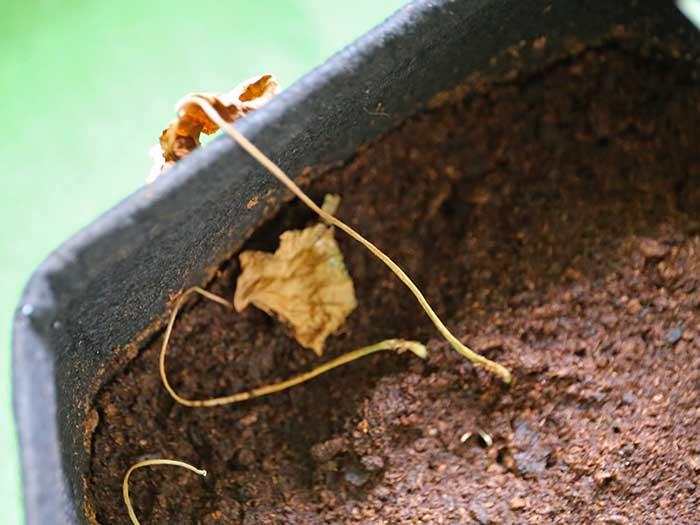 枯れた安納芋の葉