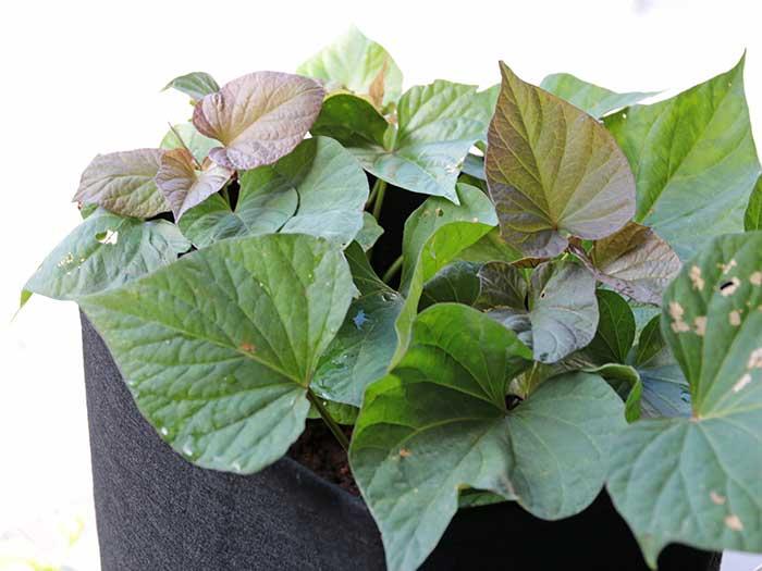 青々と茂る安納芋の葉