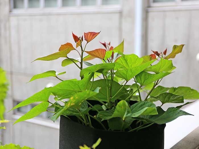 赤茶に見える安納芋の新芽