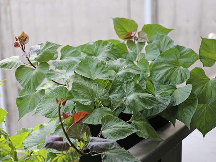 茂りまくる安納芋の葉