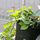 ベランダ菜園で安納芋を栽培!伸びないツルと葉をかじる青虫くん