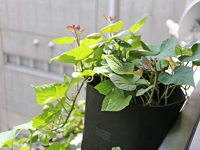 元気に育つ安納芋のサツマイモの苗