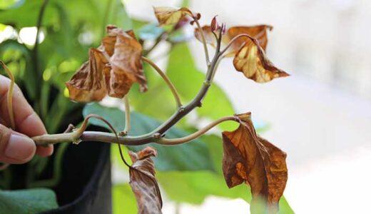 サツマイモ栽培で黄色くなって枯れる葉っぱ!病気の原因と対策は?