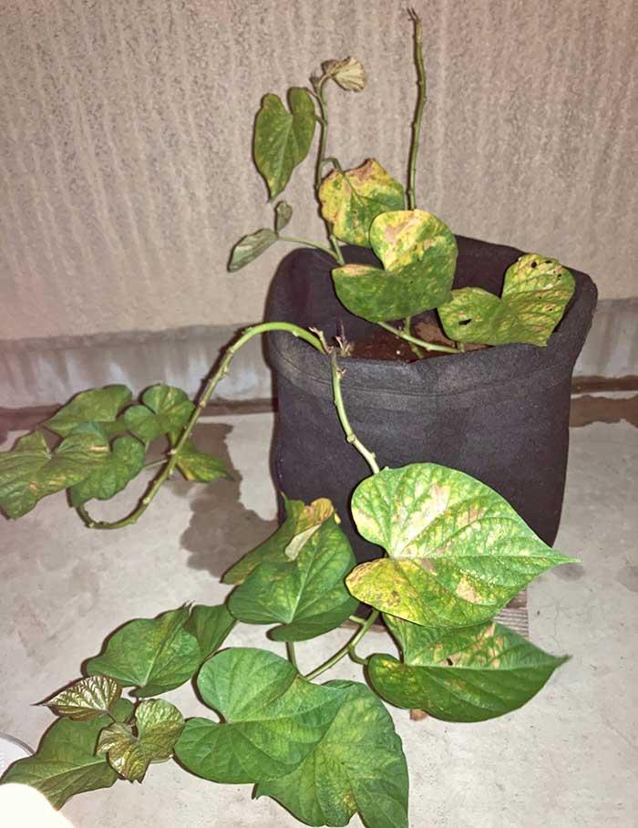 下葉からどんどん黄色く枯れていくサツマイモ