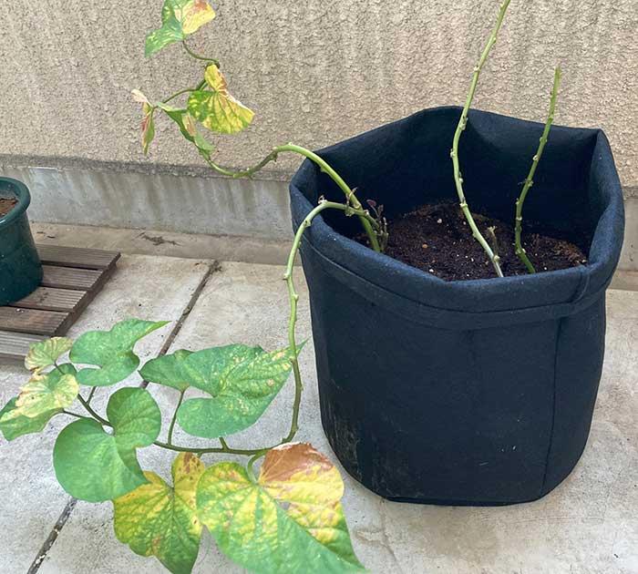 葉が黄色くなって枯れてきたサツマイモの苗