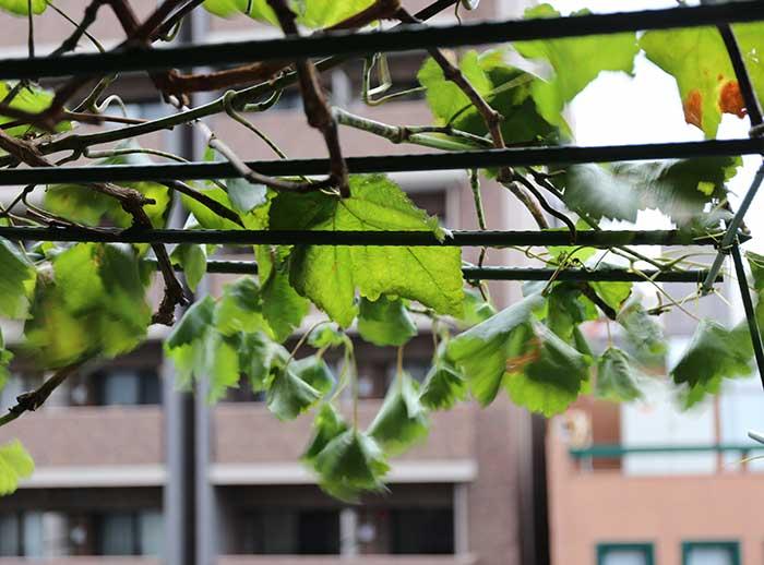 突風と土砂降りの雨であおられるブドウの葉