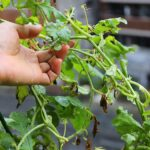 強風と土砂降りの雨でベランダ菜園のスイカがピンチ!対策方法は?