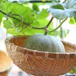 ベランダ菜園のメロンを収穫!土を使わなくても甘くておいしいメロンになった~♪