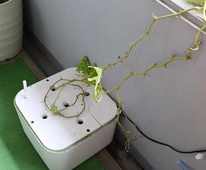 水耕栽培キットでスイカを栽培