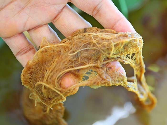 スイカの根の状態